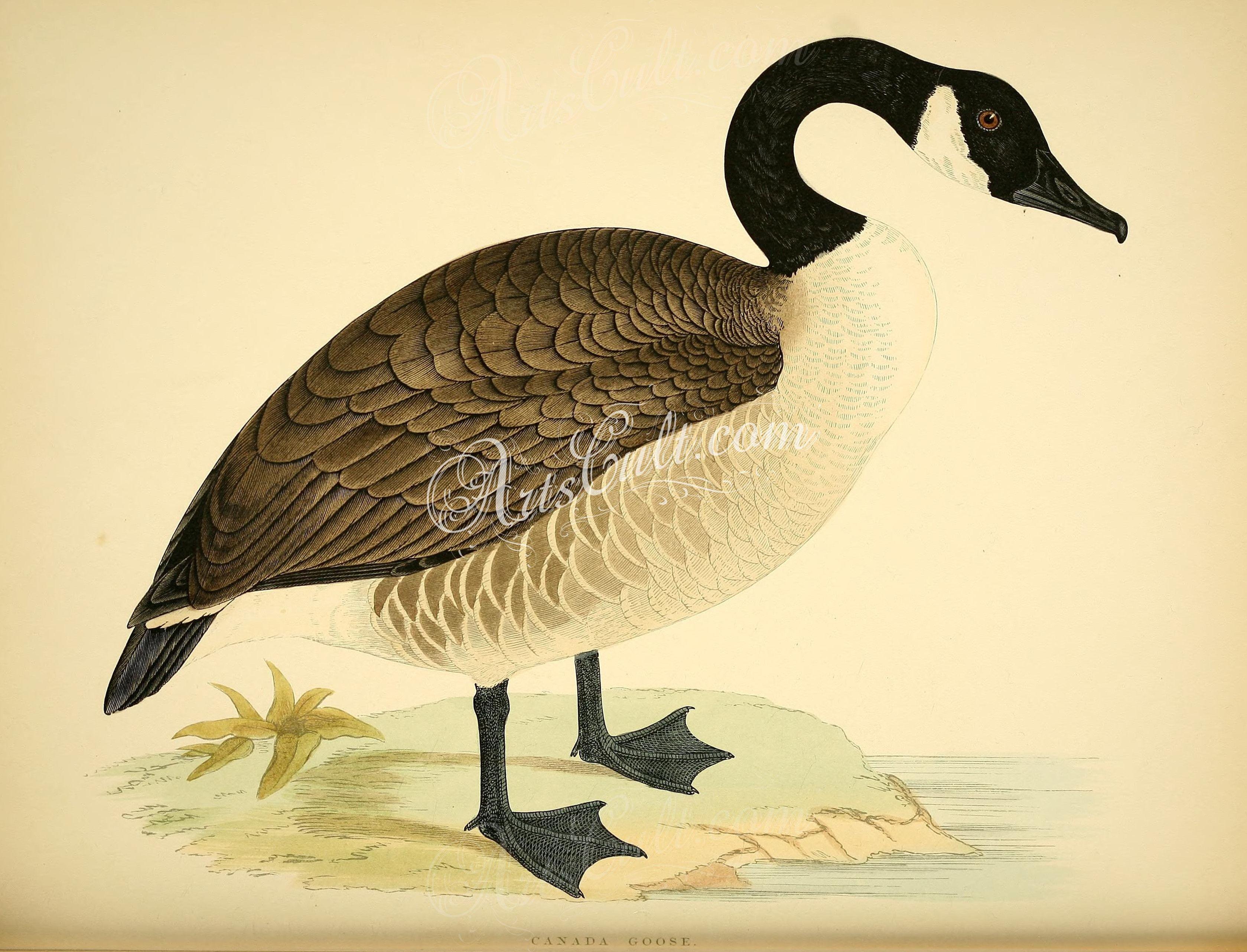 Canada Goose ... | ArtsCult.com | Pinterest | Canada goose, String ...