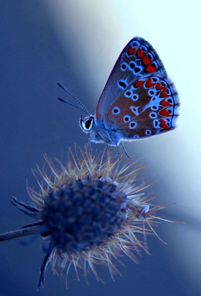 Stunning photograph, gorgeous colors - Polyommatus thersites