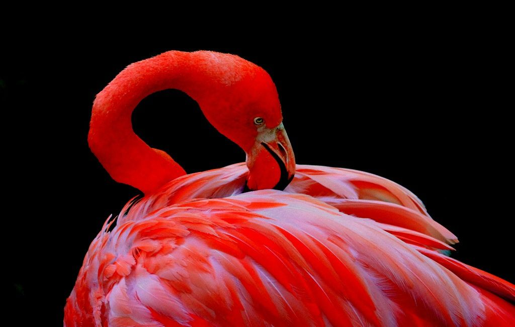Red Flamingo by Rainer Leiss - Photo 14382231 - 500px