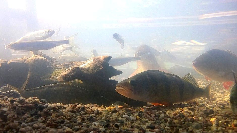 Muovia syöneiden poikasten käyttäytyminen muuttui. Ne olivat laiskempia kuin eläinplanktonia syöneet poikaset, eivätkä reagoineet petokalojen tuoksuun.