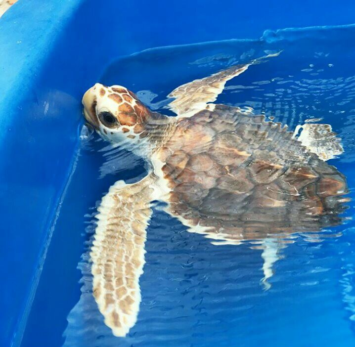 Bell Loggerhead Marinelife Center Juno Beach Fl