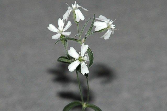 Silene Stenophylla, la pianta venuta dalla preistoria  A vederla così rigogliosa non si direbbe, ma questa pianta è germogliata da un seme vecchio di 32 000 anni, conservato da alcuni scoiattoli sotto il ghiaccio siberiano e fiorito in un laboratorio di Mosca.