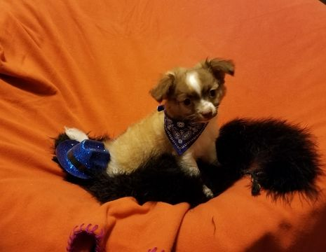 Chihuahua Puppy For Sale In Mansfield Tx Adn 47803 On
