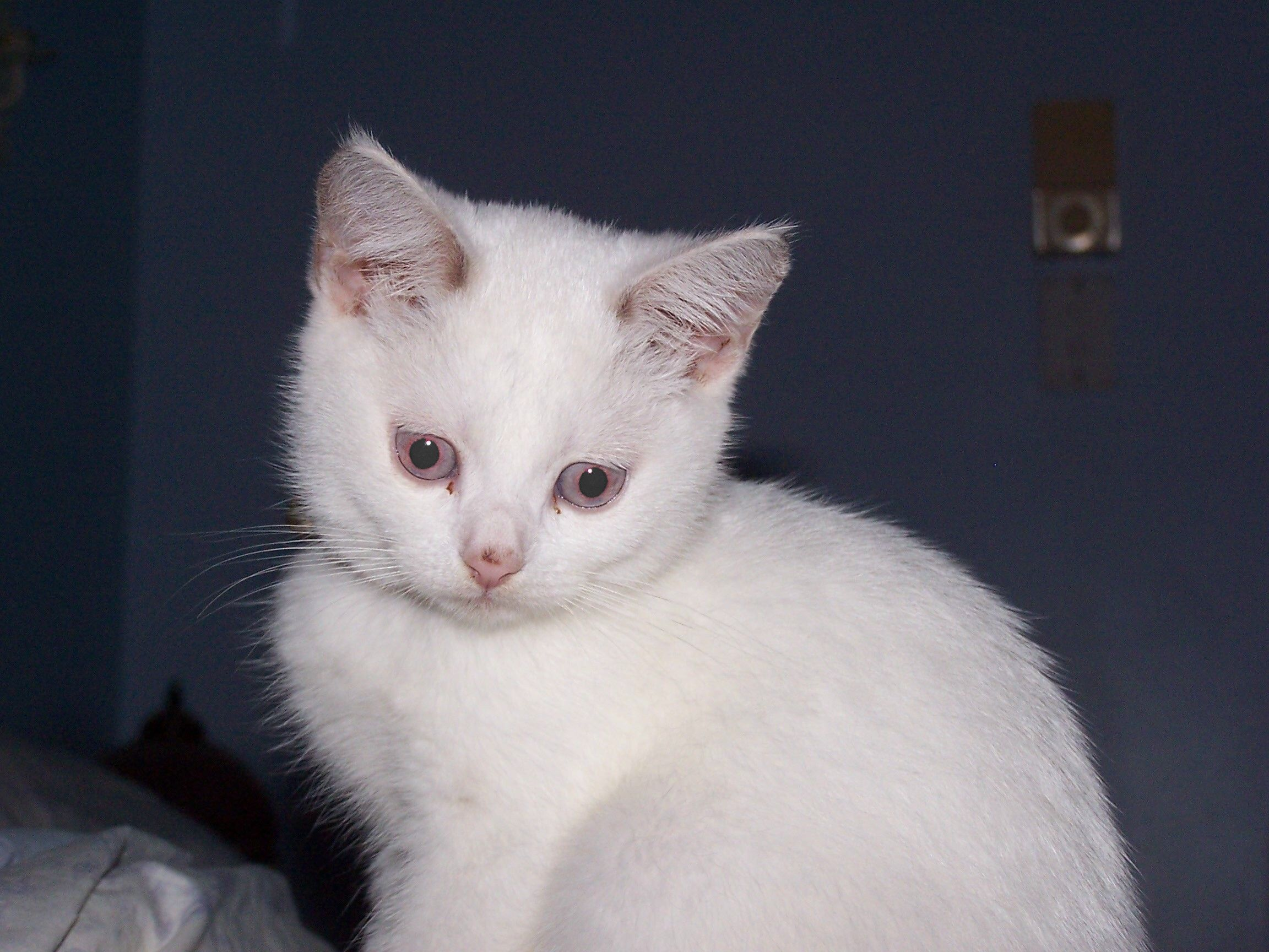 My beautiful girl Lady Violet White cats, Cats, Lady violet