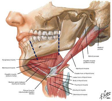 Lab 25 First Pharyneal Arch Dental Anatomy Human Anatomy And Physiology Anatomy