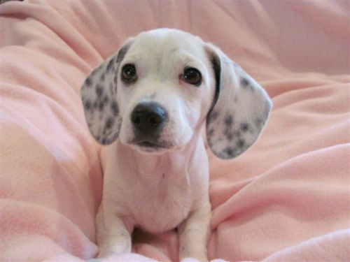 Dalmation Mix Basset Hound Mix Beautiful Dog Breeds Dalmatian Mix