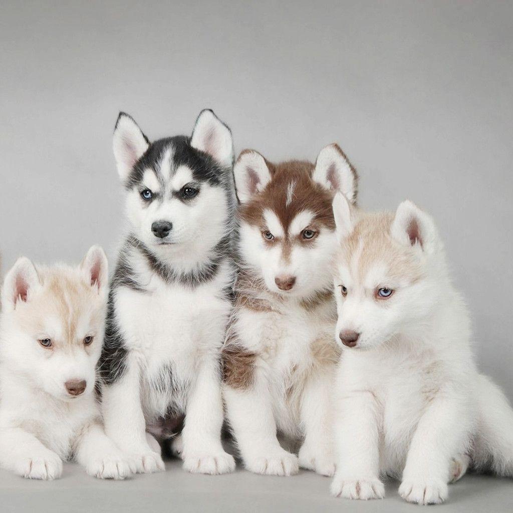 Dog Wallpaper For Ipad Mini 140807 5 Pomsky Dog Husky