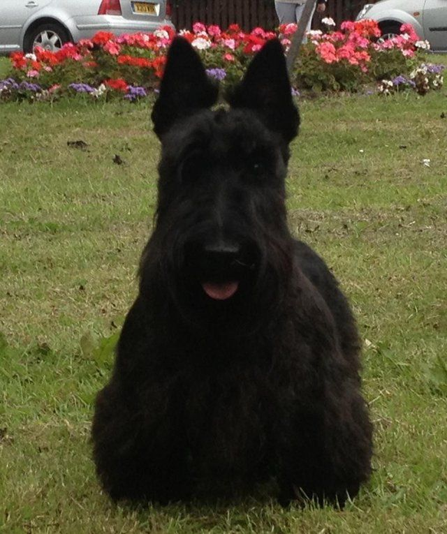 Love These Ears Nice Size And Set Scottie Dog Scottie Terrier