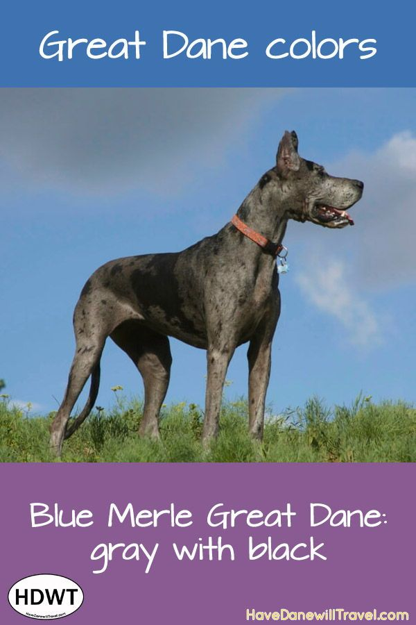 A Great Dane Coat Of Many Colors Merle Great Danes Great Dane