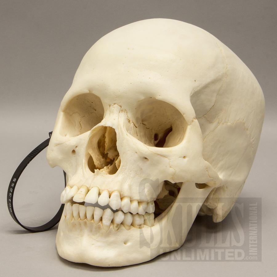 real human skull homo sapiens wok 13255 real human skulls