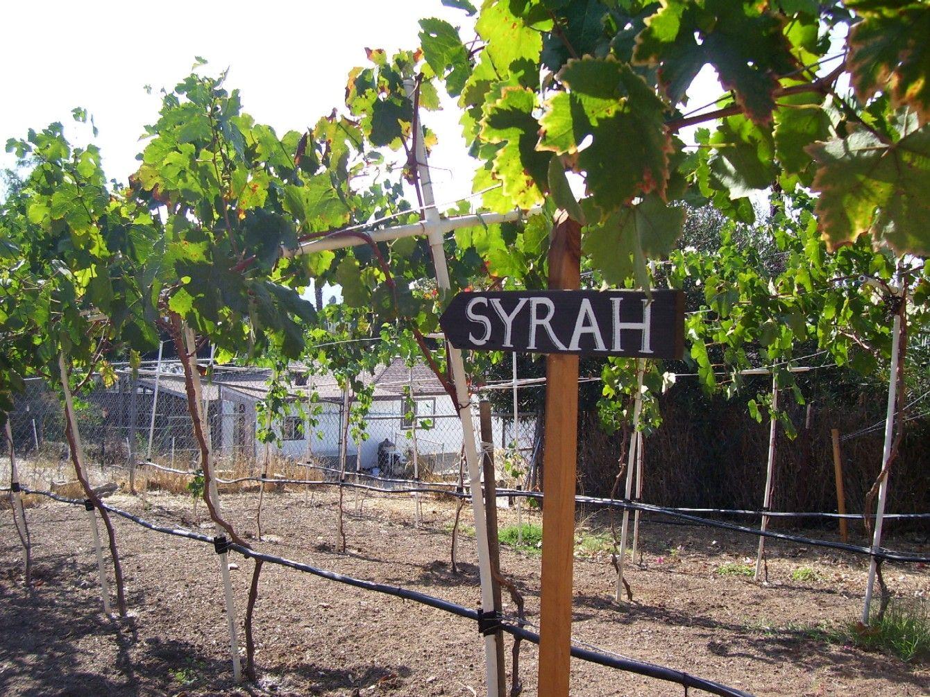 syrah section of my backyard vineyard backyard vineyard for