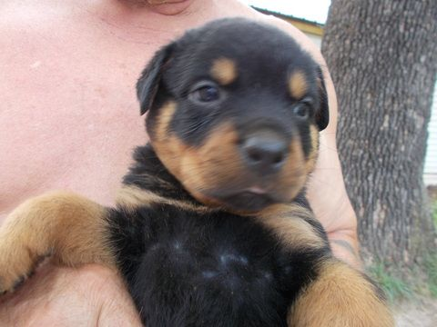 Litter Of 8 Rottweiler Puppies For Sale In Mexico Mo Adn 28724 On