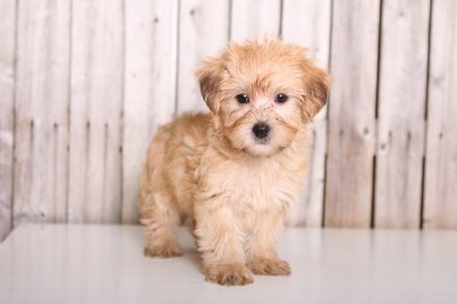 YorkiePoo puppy for sale in MOUNT VERNON, OH. ADN61315