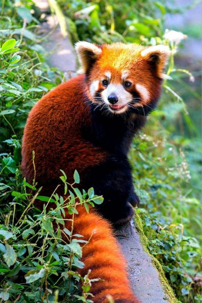 Red Panda | reference / animal / anatomia | Pinterest