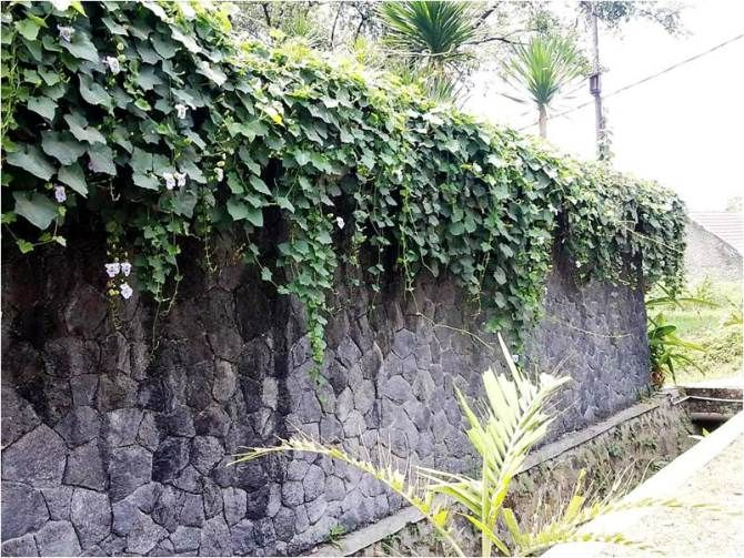 Memperindah Pagar Dinding Pergola Dengan Tanaman Rambat Berbunga Tanaman Rambat Taman Luar Ruangan Tanaman