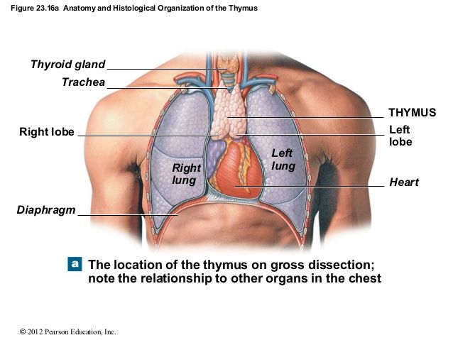 I love Human Anatomy — The thymus gland is located in the lower back ...