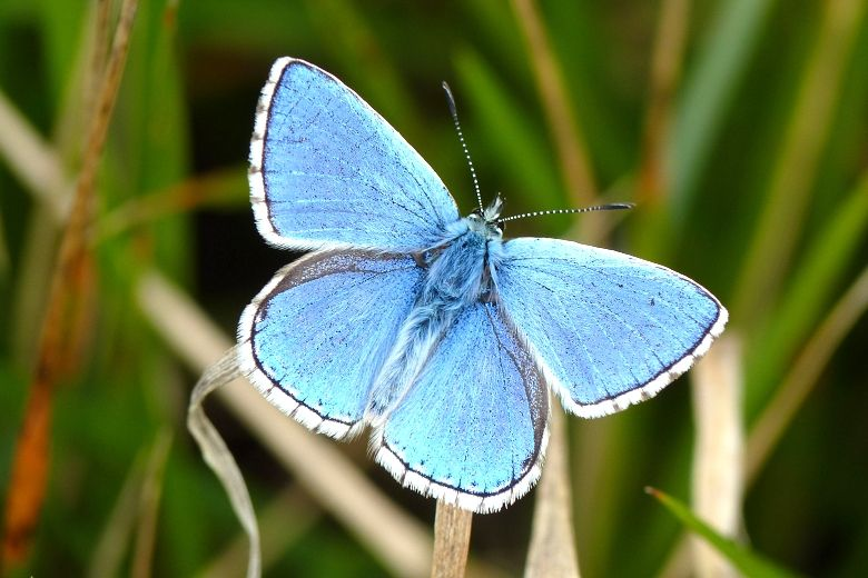 blue white butterfly   The Adonis Blue has made a successful comeback