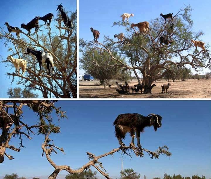 Mira estas cabras asombrosas escalando árboles Se encuentra en Marruecos, suben estos árboles de argán en busca de alimento. Es difícil imaginar que los animales con pezuñas podrían ser tan hábiles para escalar, pero estas imágenes son 100% reales. La comida es bastante escasa en esta zona, así que tienen que agarrar cuando pueden - incluso si es alto en un árbol!