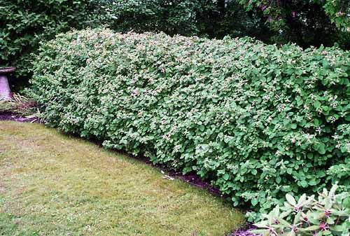20 Green Fence Designs Plants To Beautify Garden Design And Yard Landscaping Natural Fence Fence Landscaping Privacy Landscaping