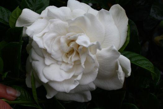 Aimee Gardenia Aimee Yoshioka Cape Jasmine Flowers Plants