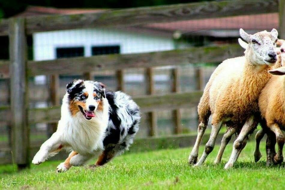 Australian Shepherd Herding Sheep Australian Shepherd Working Dogs Aussie Dogs