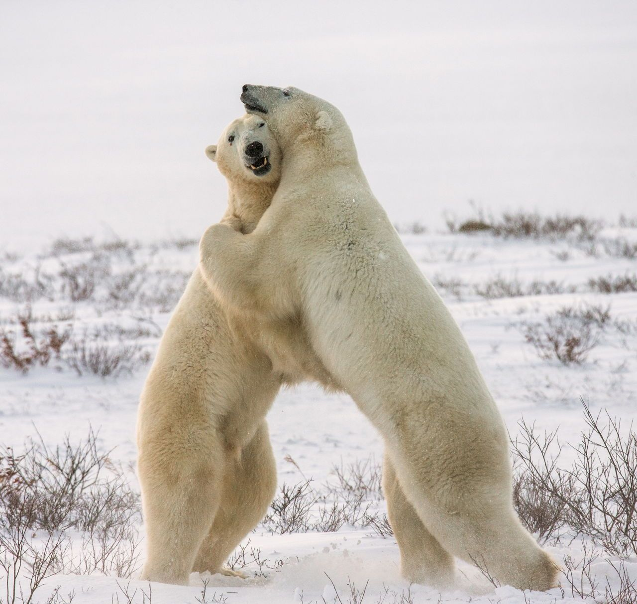 Tundra Animals Arctic animals, Animals, Polar bear