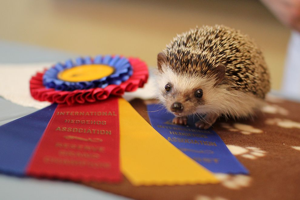 40 things we learned at the hedgehog convention hedgehog