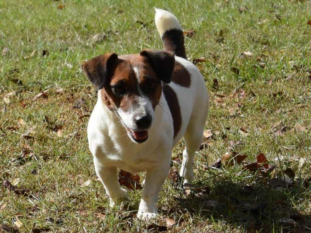 Snow Creek S Female Jack Russell Terriers Tiere