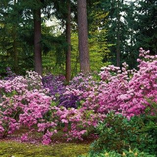 Ordinaire One Of The Best Places To See Them Is The Rhododendron Species Botanical  Garden In Federal