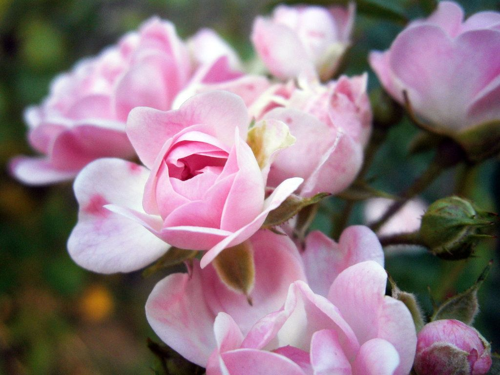 Roses Top 10 Most Famous Flowers Most Popular Flowers Flowers Pictures Of Spring Flowers