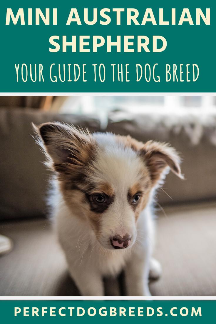 The Mini Australian Shepherd Dog Breed Is A Smaller Version Of The Australian Shepherd Despite Their In 2020 Australian Shepherd Mini Australian Shepherds Dog Breeds