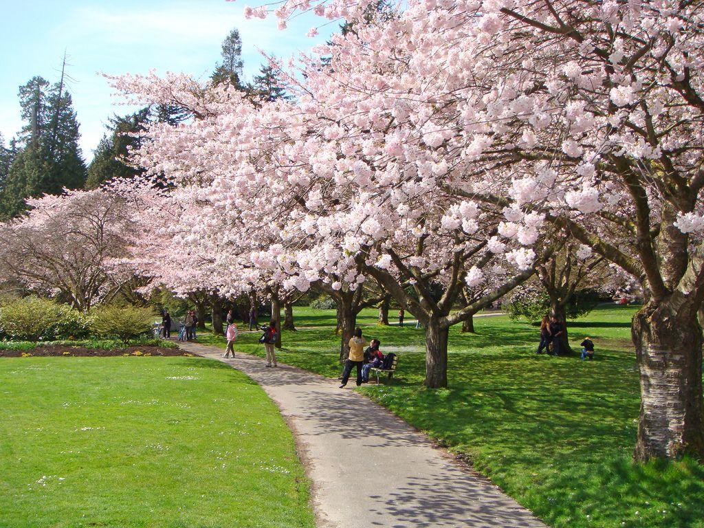 Dsc00778 Vancouver Photos Cherry Blossom Photo Maps