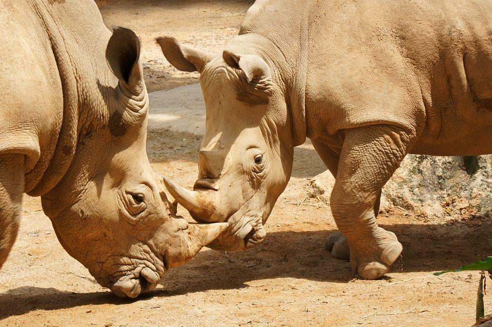 Носороги в Сингапурском зоопарке