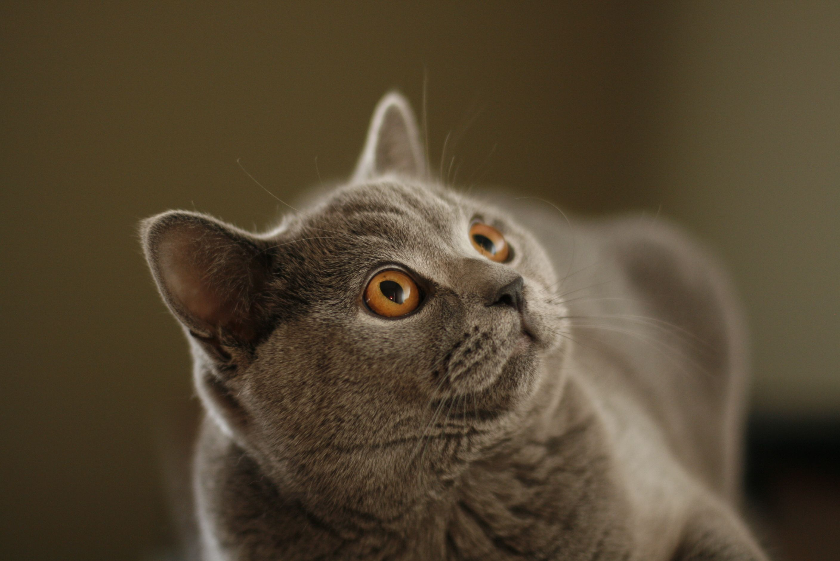 British Shorthair Cat They Are Like Cuddly Teddy Bears British Shorthair Cats Cats And Kittens Cat Breeds