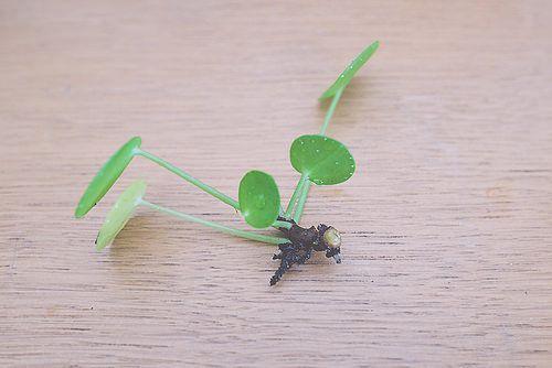 entretenir et bouturer un pil a p p romio des plantes. Black Bedroom Furniture Sets. Home Design Ideas
