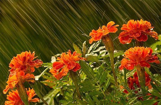 creative, Examples, Inspiration, Photography, rain, sadness, beautiful, Marigolds in the Rain by Deborah Sandidge