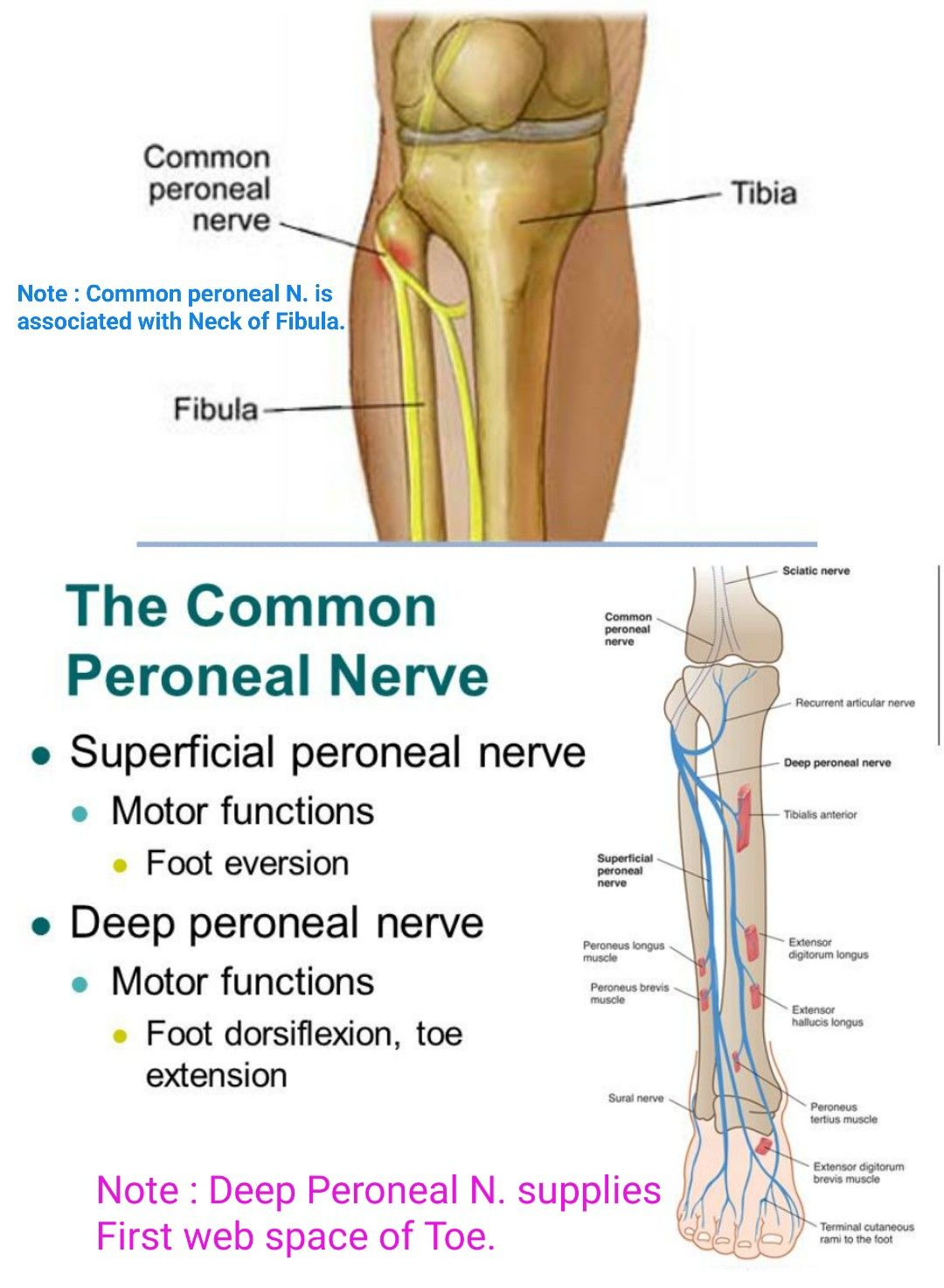 Image Result For Common Peroneal Nerve Usmle Pinterest Sprain