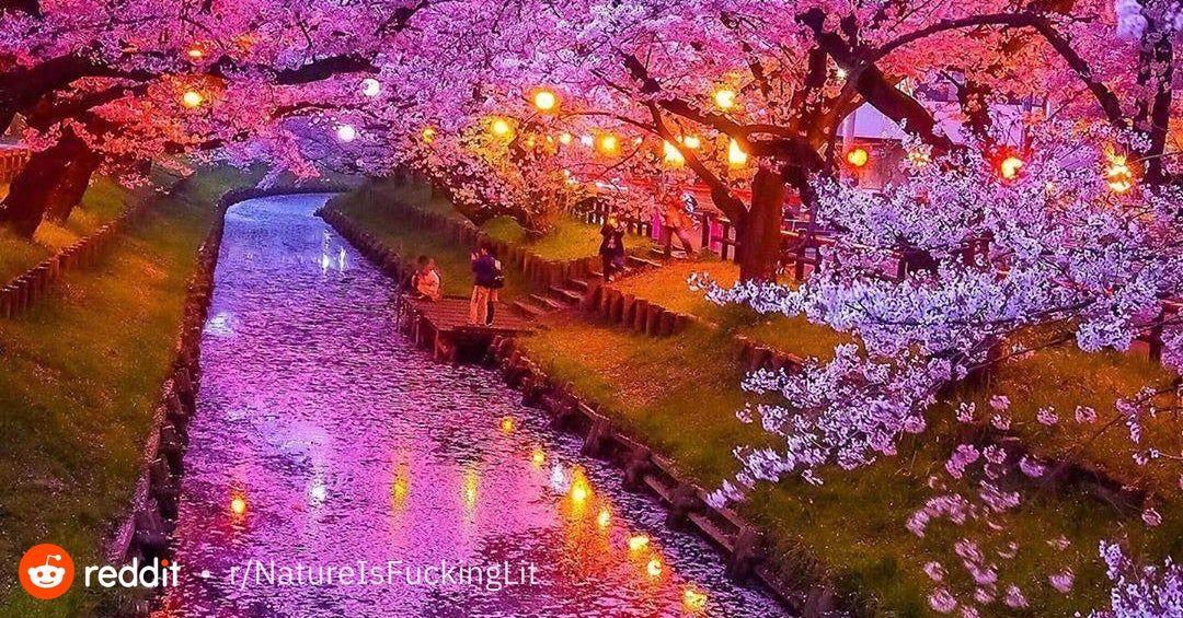 Cherry Blossom In Tokyo Natureisfuckinglit Cherry Blossom Nature Images Bloom