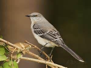 Texas Mockingbird Bing Images Bird Coloring Pages State Birds Birds