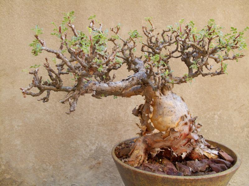 bursera microphylla arbustes fleurs plantes inhabituelles plantes de cactus culture de plantes