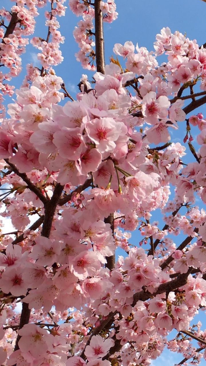Download Wallpaper 720x1280 Blossoms, Twigs, Spring, Sky