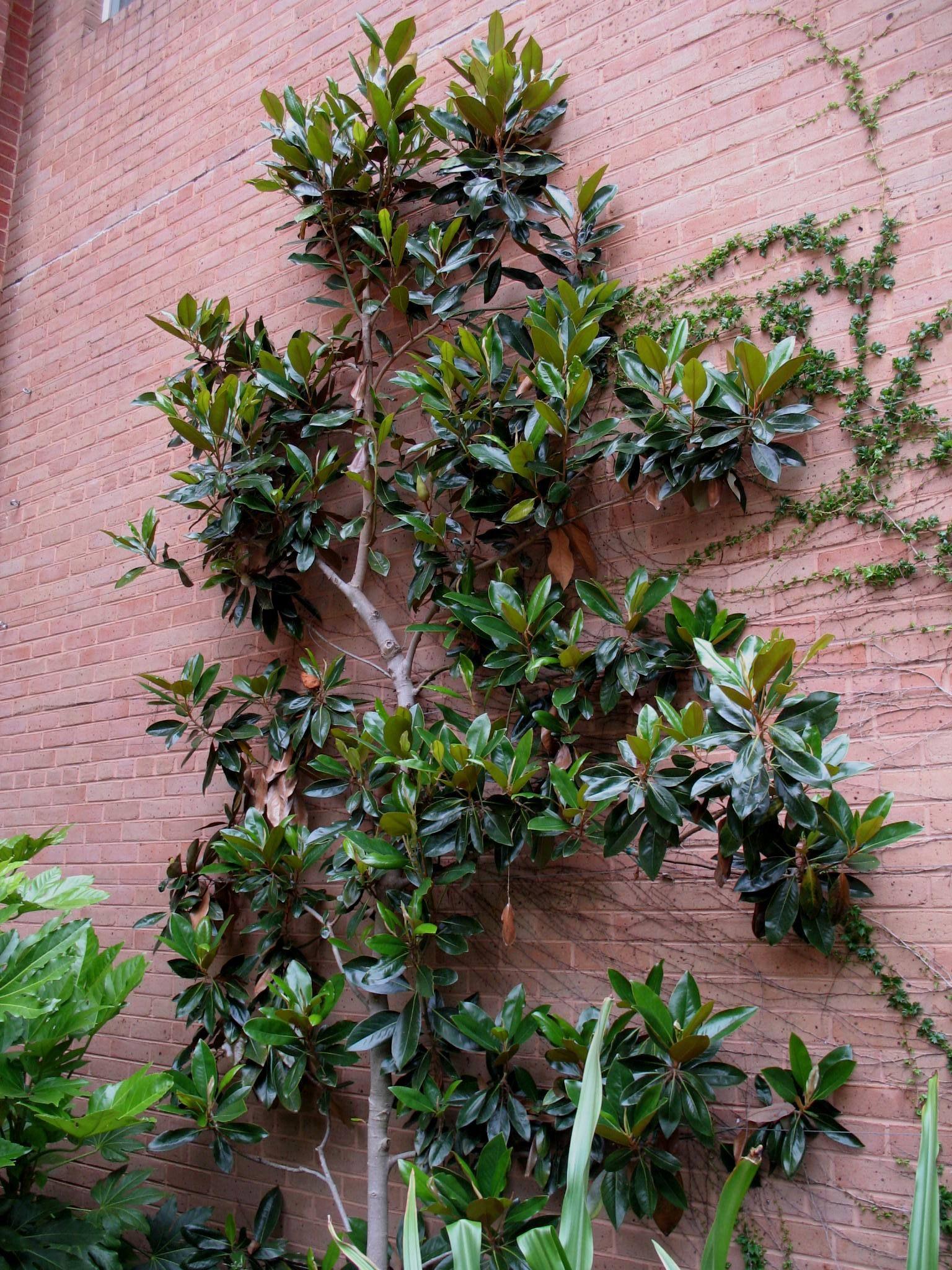 Magnolia Grandiflora Little Gem Magnolia Grandiflora Little Gem Onlineplantguide Com Magnolia Little Gem Evergreen Trees For Sale Magnolia Grandiflora