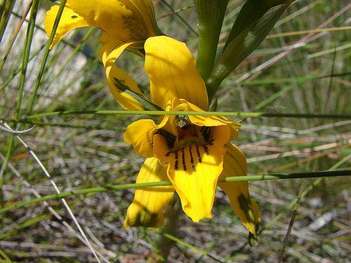 https://flic.kr/p/5jN4ae | Orchidaceae - Chloraea gavilu Lindl. | endémica de Chile Lugar: cerro Mauco, V Región