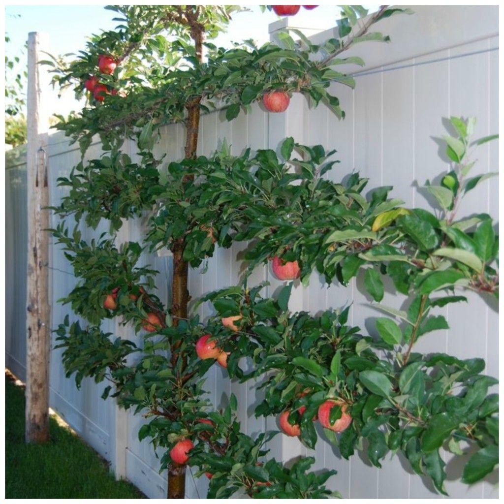 5 Vertical Vegetable Garden Ideas For Beginners: Espalier Trees For Your Garden