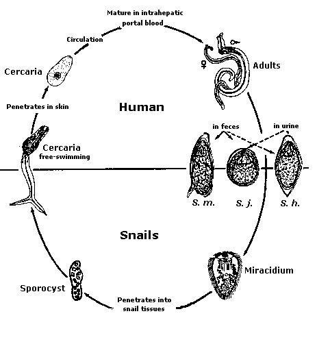 biológia platyhelminthes