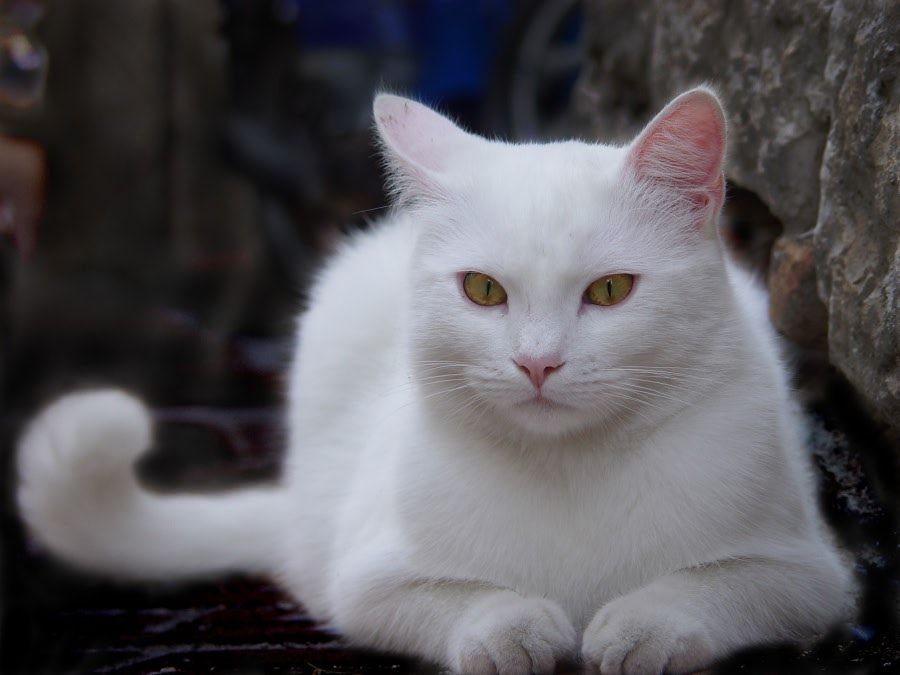 we lost our beautiful white cat today '( this is NOT her