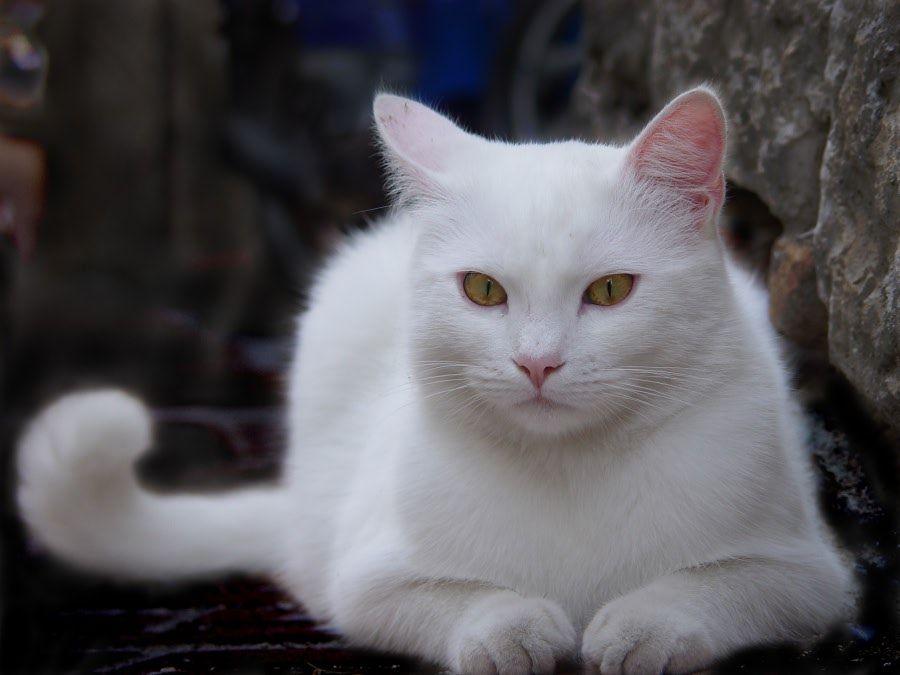 картинки белых котов с желтыми глазами появившись показе