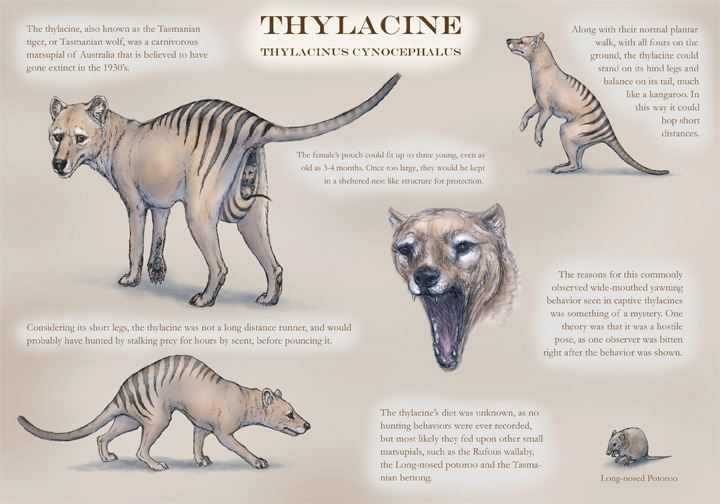 Thylacinus cynocephalus : Tasmanian Tiger | carnivorous # ...