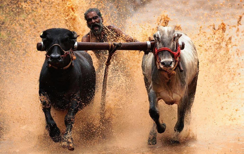 The Hindu On Instagram Hoof Power A Cattle Race In Progress On