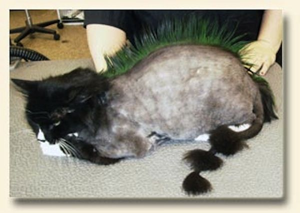 This cats mohawk is pretty fierce los gatos pinterest cat winobraniefo Images